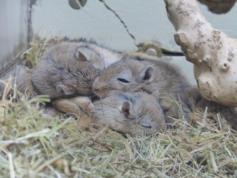 "Picture of gerbils - ""I fed him too much cheese"""